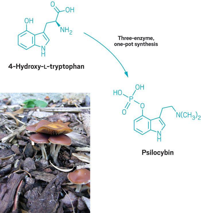 'Magic mushroom' enzyme mystery solved