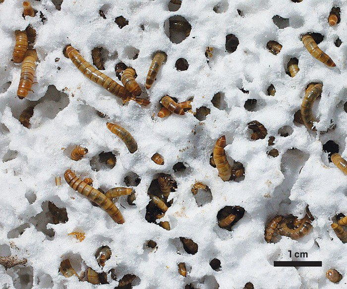 09625-cover3-mealworms.jpg