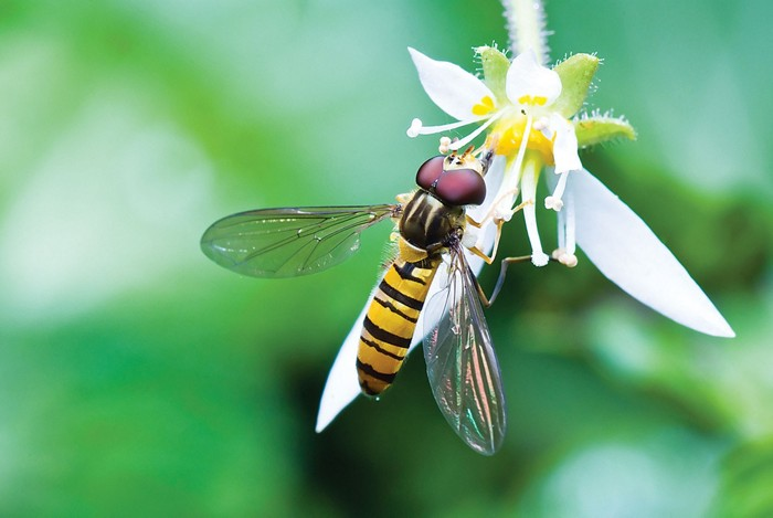 09627-feature1-hoverflyCXD.jpg