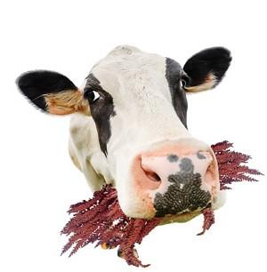 09633-newscripts-cow.jpg