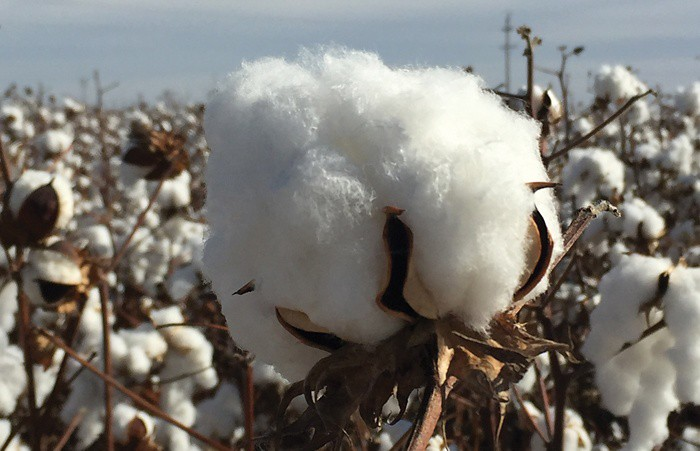 LN-cotton.jpg