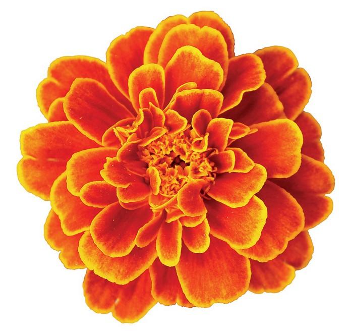 09710-scicon7-marigoldcxd.jpg