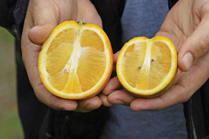 Citrus greening is killing the world's orange trees  Scientists are