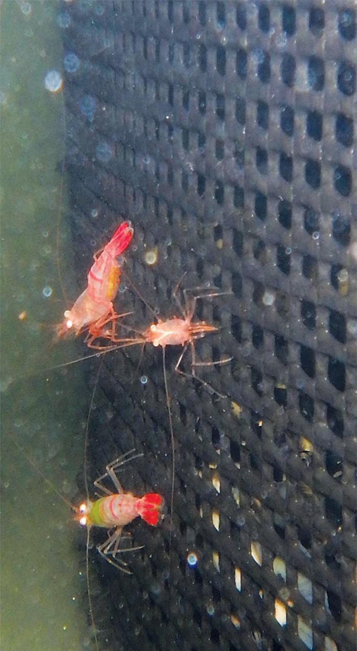 09723-newscripts-shrimpcxd.jpg