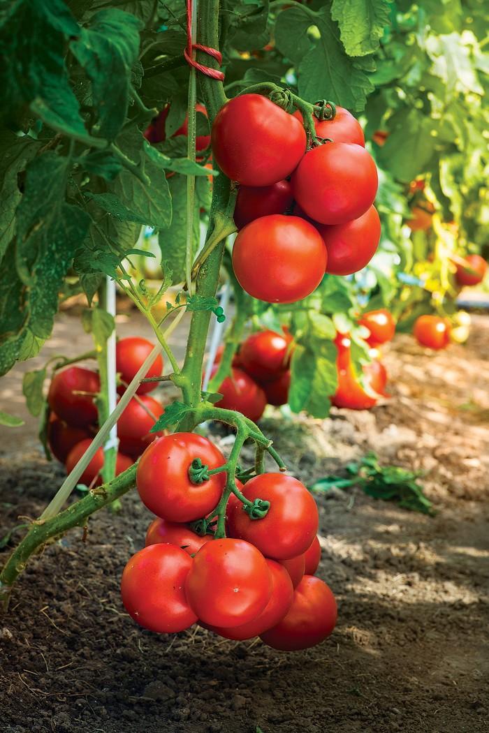 09742-scicon12-tomato.jpg