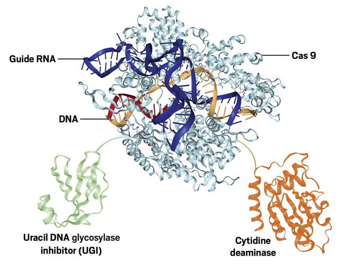 Crispr Base Editors Cause Unexpected Mutations