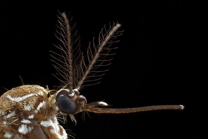 20190329lnp1-mosquitohead.jpg