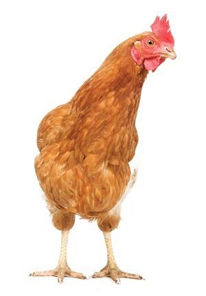 09805-newscripts-chicken.jpg